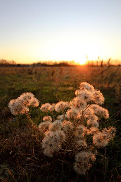 Forb seeds at winter sunset.  Near Newton, Kansas.