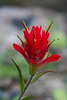 Paintbrush (Rocky Mountain National Park, CO).
