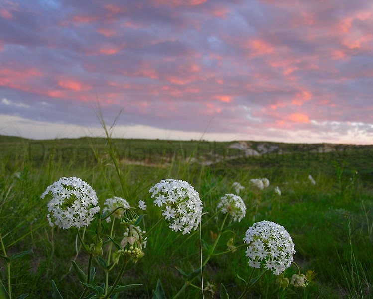 Prairie Snowball at sunset (Pawnee National Grassland, CO).