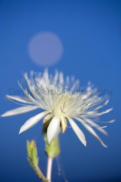 Moonrise and blooming flower.<br /> San Luis Valley, Colorado