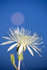 Moonrise and blooming flower.<br /> San Luis Valley, Colorado