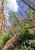 Penstemon.<br /> Rocky Mountain National Park, Colorado