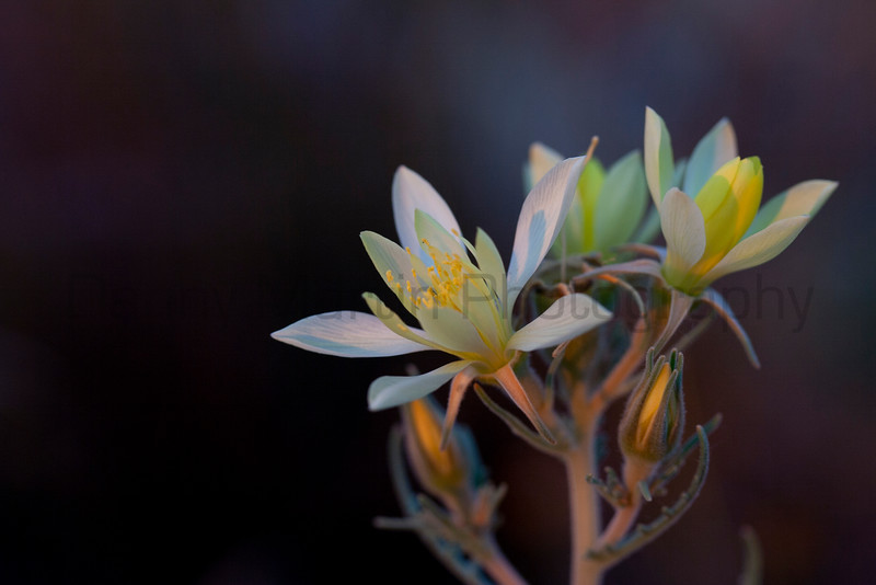 Flower at sunset.<br /> Great Sand Dunes National Park, Colorado.
