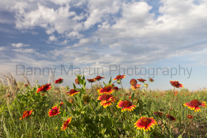 Indian Blanket<br /> Black Kettle National Grassland, Oklahoma.