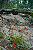 Indian Paintbrush & ancient pine log.  <br /> Rocky Mountain National Park, Colorado