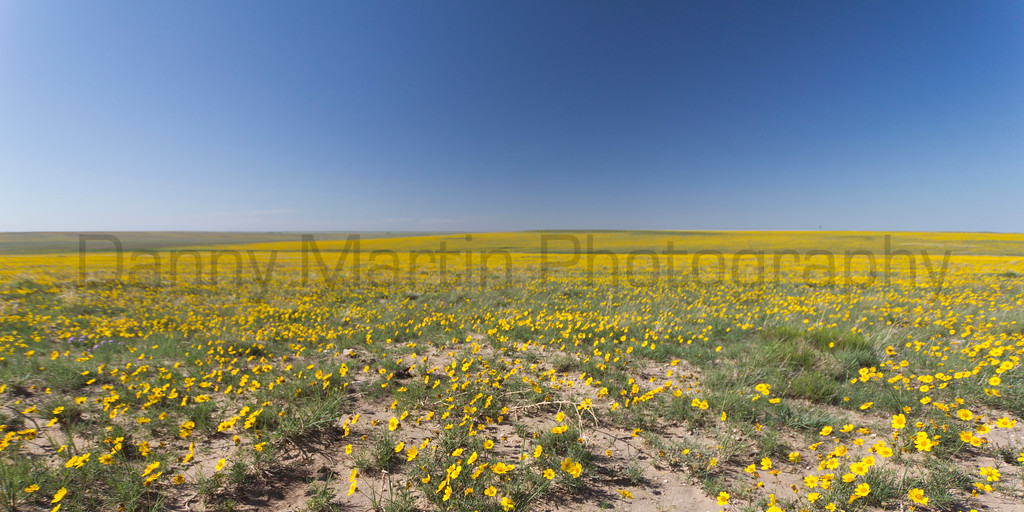 Field of yellow.<br /> Rita Blanca National Grassland, Texas.