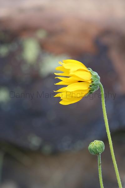 Sunflower in the wind<br /> Comanche National Grassland, Colorado.