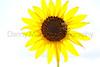 Sunflower and bee<br /> Comanche National Grassland, Baca County, Colorado.