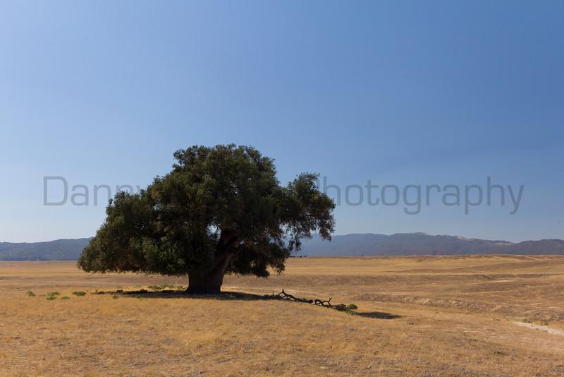 Lone Oak north of Julian, California.