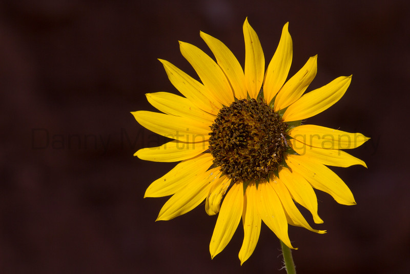 Sunflower<br /> Caprock Canyons State Park, Texas.