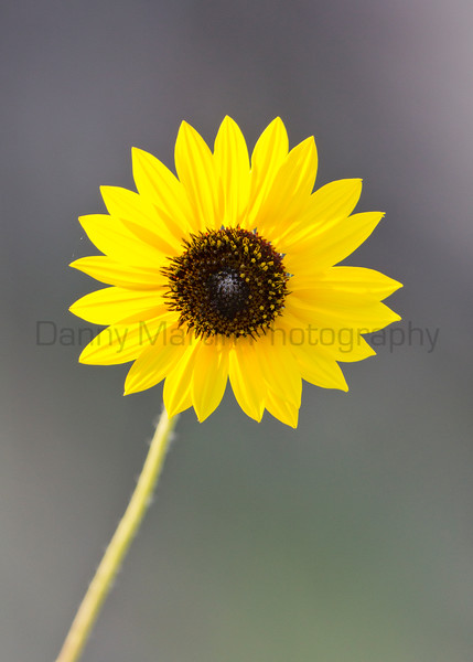 Sunflowers<br /> Yoakum County, Texas.