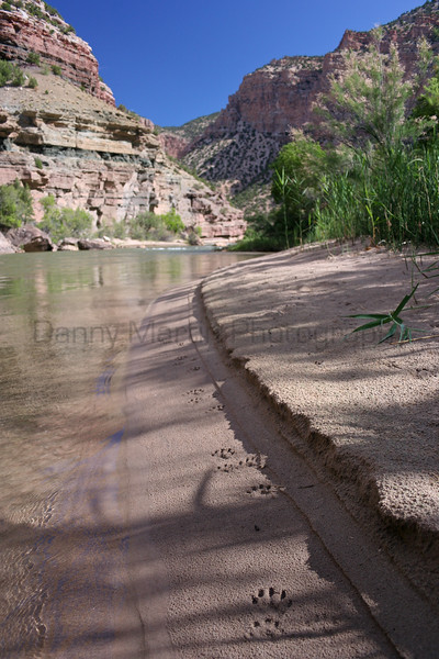 River Otter tracks along the Green River.  <br /> Dinosaur National Park, Colorado.