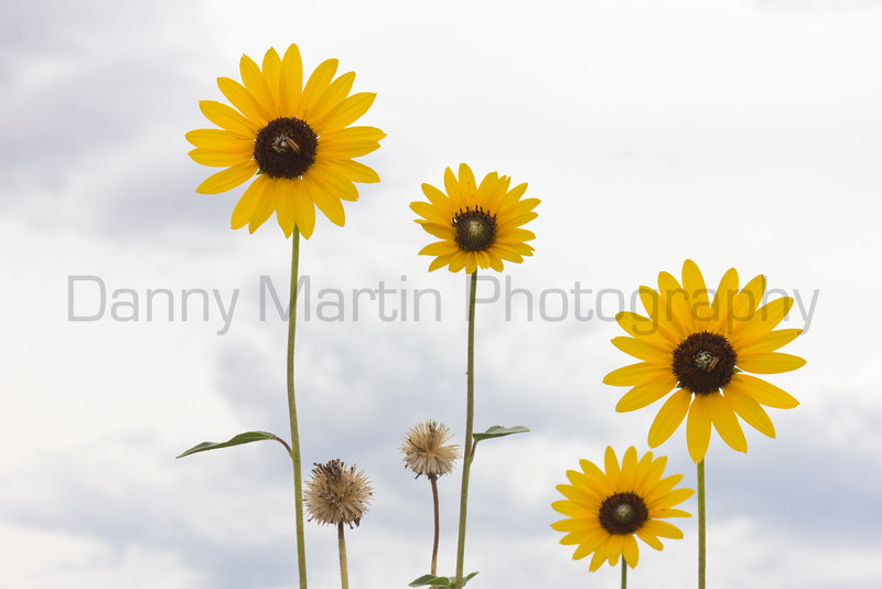 Sunflowers<br /> Pawnee National Grassland, Weld County, Colorado.