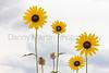 Sunflowers<br /> Pawnee National Grassland, Weld County, Colorado.