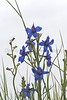 Larkspur (Weld County, CO).