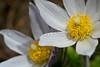 Pasque flower (Pawnee National Grassland, CO).