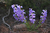 Penstemon.<br /> Colorado National Monument, Colorado