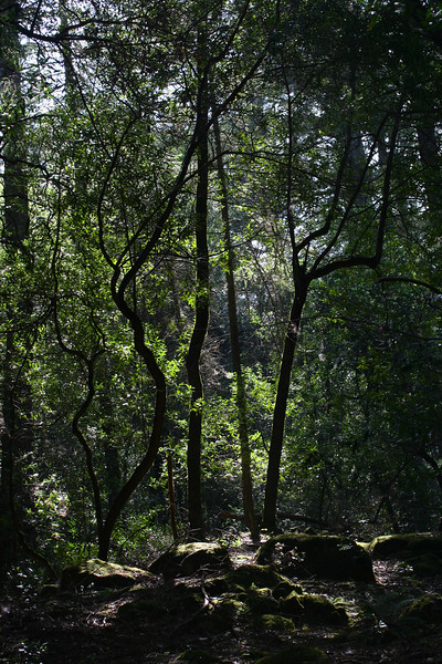 Backlighting in the woods.  Near Santa Rosa, CA.