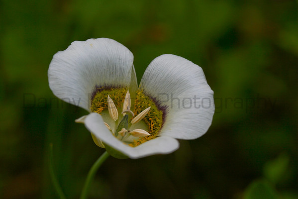Mariposa lily (Rocky Mountain National Park, CO).