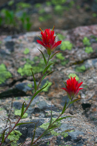 Paintbrush (Rocky Mountain National Park, CO).