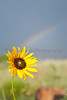 Sunflower and rainbow<br /> Carizzo drainage, Comanche National Grassland, Baca County, Colorado.