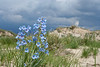 Penstemon before the storm.<br /> Weld County, Colorado.