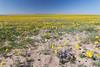 Field of yellow.<br /> Rita Blanca National Grassland, Texas.