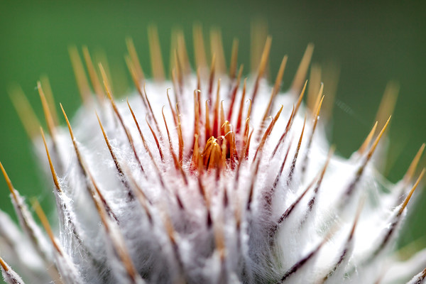 Covered Thistle