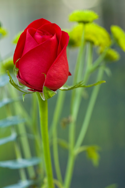 Red Rose for Jeanne