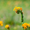 Solo Fiddleneck