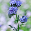 Blue Fiddleneck