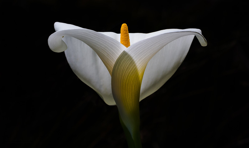 Calla Lily Light