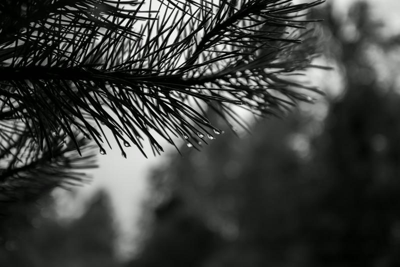 Raindrops on a pine tree.