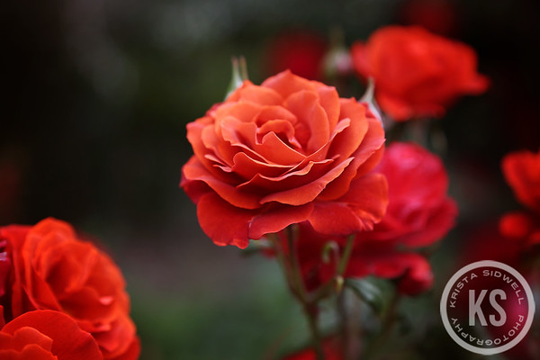 A Beautiful Rose in the Ohinetahi Gardens, Christchurch, New Zealand
