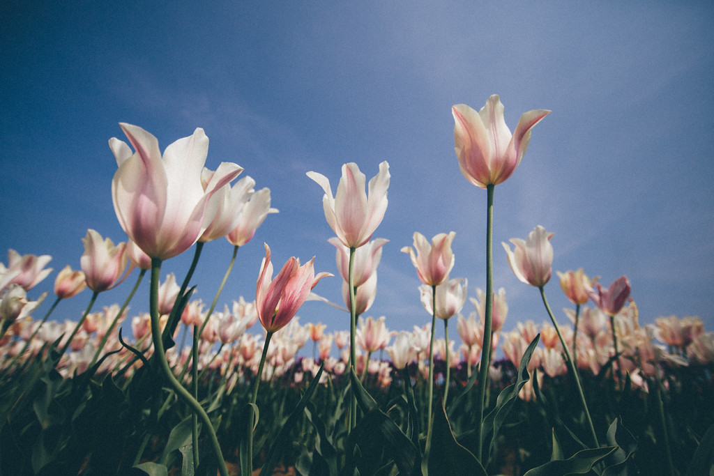 Tulips & Breeze