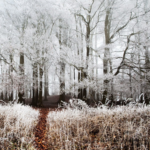 Copse in Frost