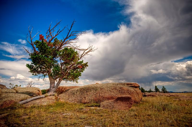 Wyoming Wispy Tree