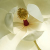 """Magnolia in Bloom"""