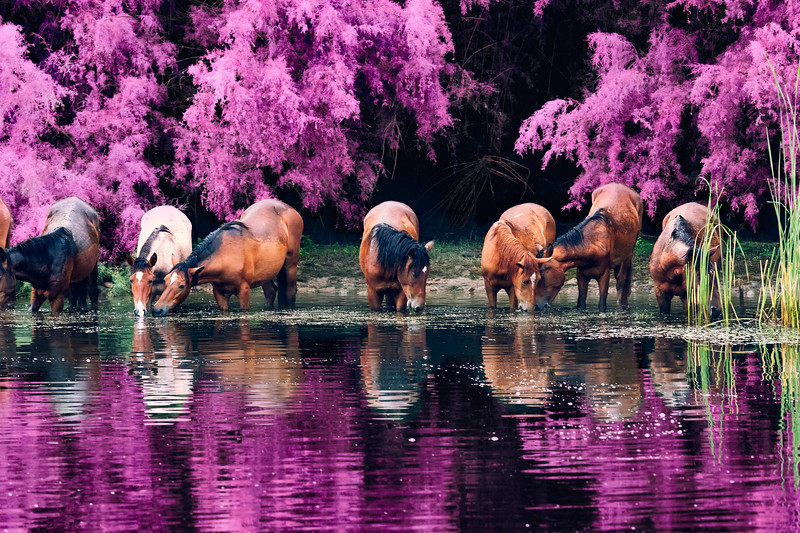 The Last Supper with Wild Horses