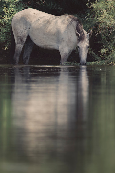 Wild Mare Grazing in the Water