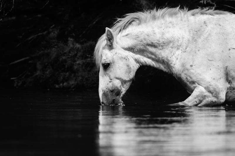 Wild Stallion Grazing in the Salt River