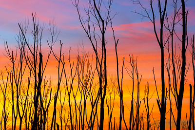 Dead Trees at Sunset