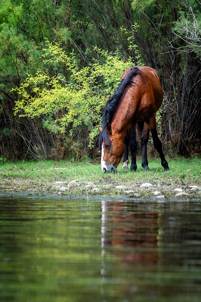Wild Horse Grazing in Arizona