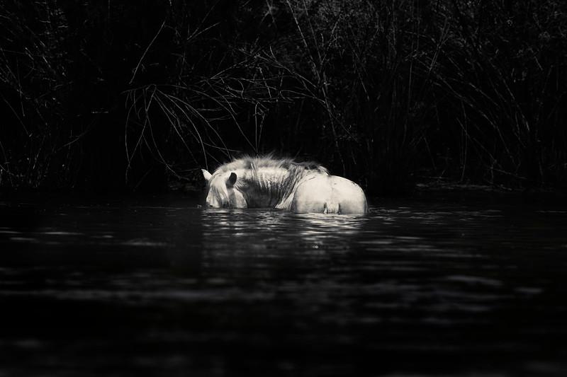 Wild Stallion Grazing on Underwater Grasses