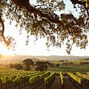 Sun Drenched Vines