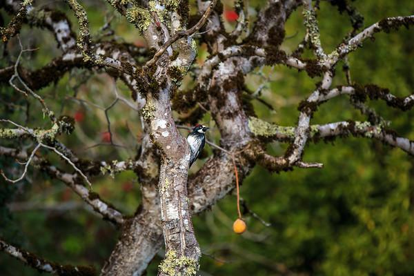 Woodpecker  Buckeye Tree