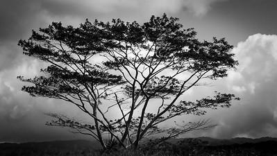 Black and White Moluccan Albizia tree