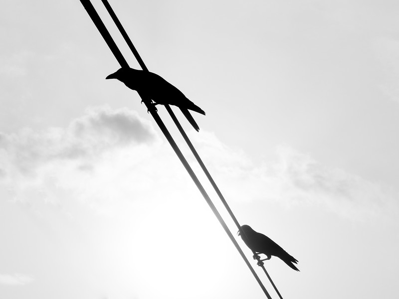 crows-on-a-wire