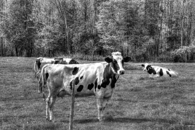 Black and White Cows in the Field