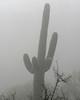 Saguaro in Fog, Tucson, Arizona